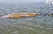 Imatge de la balena rescatada ahir.
