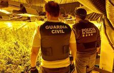 Desmantellen una plantació de marihuana a Coma-ruga