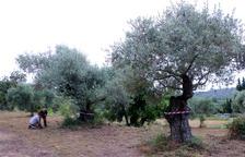 Pla general d'un camp amb oliveres monumentals marcades amb una cinta per Salvem lo Montsià a la partida de Valldepins, Ulldecona.