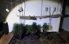 Detinguts per intentar robar en una casa a Alcover, on hi havia una plantació de marihuana amagada