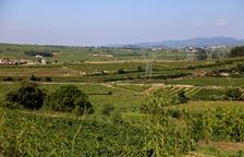 Imatge d'arxiu d'un paisatge de vinyes al Penedès.