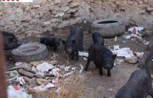 Los Mossos denuncian una granja de crianza ilegal de cerdos vietnamitas en la Ametlla de Mar