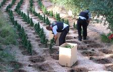 Los Mossos desmantelan una plantación de 1.800 plantas de marihuana en Flix