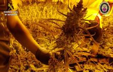 Desmantelada una plantación de marihuana en una casa de Creixell