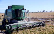 El Delta de l'Ebre accelera una campanya de sega de l'arròs extraordinàriament tardana