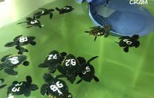 Las tortugas nacidas de los dos nidos de la Pineda evolucionan favorablemente