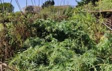 La Policía Local de Tortosa localiza una plantación de marihuana en unos terrenos próximos al río
