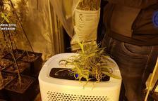 Desmantellen un cultiu amb 259 plantes de marihuana en una casa de Calafell