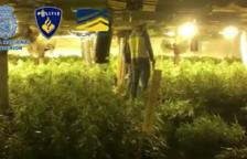 Es van interceptar 34.000 plantes de marihuana