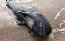 Aparece un delfín calderón gris muerto en la playa del Prat de Llobregat