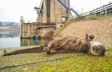 El Grup de Natura Freixe denuncia atropellaments de llúdrigues a la presa de Flix