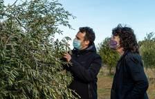 Agricultura anuncia ajudes per recuperar les oliveres danyades pel Filomena