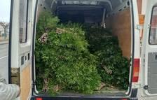 Imatge de la furgoneta carregada de llentiscle.