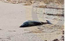 Imatge del dofí estès a la sorra.