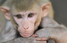 Sin monos no hay vacuna