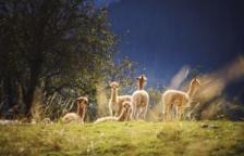 Científics belgues aconsegueixen un antiviral contra la covid procedent de la llama