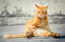 Els gats són més propensos a contreure covid que els gossos, revela un nou estudi