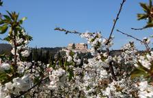 Aumentan a los visitantes para contemplar los campos de floración de los árboles frutales de la Ribera de Ebre