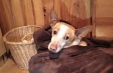Un gos recorre 25 quilòmetres fins a Blancafort per retrobar-se amb la noia que el va salvar