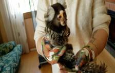 La Guardia Civil interviene un mono tití de unos siete años de edad en Alcover
