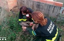 Rescatan un corzo que se había caído en una balsa de agua en la Ribera d'Ebre