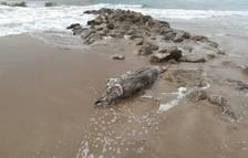Aparecen restos de un delfín en la playa de Segur de Calafell