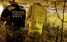 Desmantellen una plantació de marihuana a Miami Platja valorada en dos milions d'euros