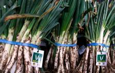 Los productores de calçots de Valls cierran una buena cosecha rozando los 12 millones de cebollas