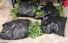Detenidos en Cambrils por llevar bolsas con ovillos de marihuana y 150 plantas en el maletero