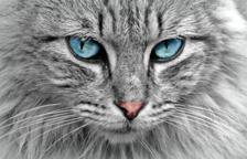 Veterinaris recomanen la vacunació massiva en gats