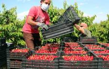 El Ebre ya tiene listos los protocolos para evitar contagios de covid durante la recogida de la fruta dulce