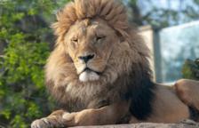 El Zoo de Barcelona testa amb PCR als seus animals després del positiu de quatre lleons