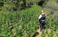 Los Mossos localizan una plantación de marihuana en Querol gracias a la colaboración ciudadana