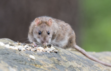 Una rata en una imagen de archivo.