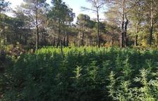 Desmantellada la plantació de marihuana més gran localitzada a l'Alt Camp amb més de 12.000 plantes