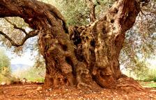 El olivo 'Mil·lènia' de Godall, mejor Olivo Monumental de España 2021