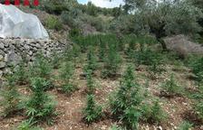 Els Mossos detenen 5 homes per cultivar 4.200 plantes de marihuana a Tortosa
