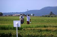 El IRTA y el IVIA valenciano buscan conjuntamente variedades de arroz más resistentes a las plagas y la salinidad