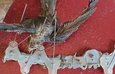 Imatge facilitada per ACTYMA d'un falciot que va morir atrapat a unes punxes anticloms.