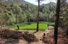 Seis detenidos por cultivar grandes plantaciones de marihuana en Ulldemolins, Almoster y Reus