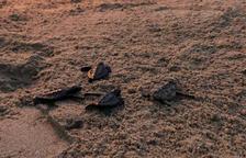 Imagen de las tortugas liberadas en la playa de Calafell.