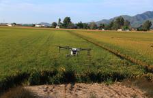 Empiezan a hacer tratamientos fitosanitarios con drones en los arrozales del delta del Ebro