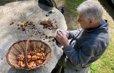 Un hombre limpiando las setas en Campelles (Ripollès).