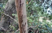 Una plaga está acabando con los algarrobos de algunos municipios tarraconenses