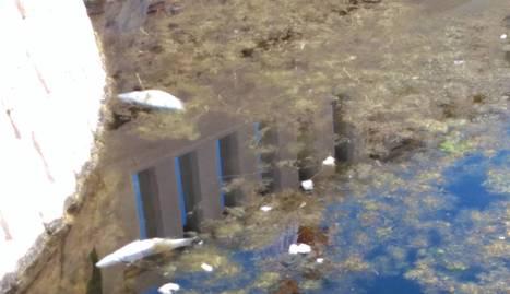 Peixos morts surant a l'estany de Coma-ruga.
