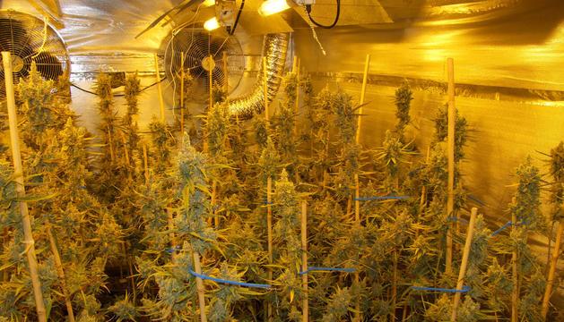 Els agents van localitzar 1.630 plantes en diferents fases de creixement i 30 quilos en bosses precintades.